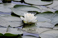 Water Lily on Green Lake